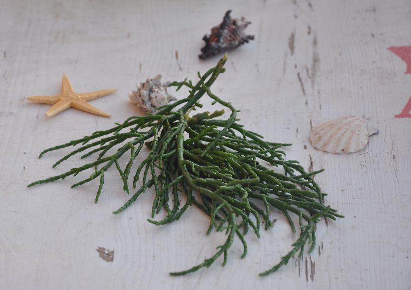 Salicornia del Gargano
