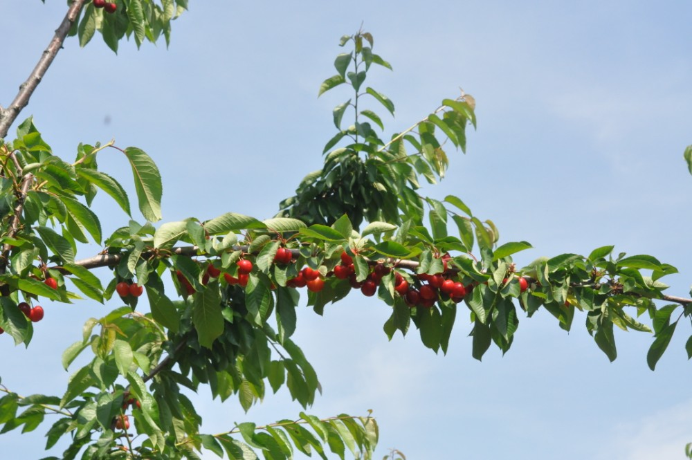 Autoraccolta ciliegie
