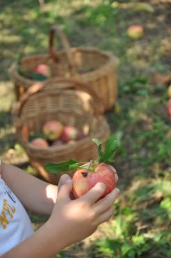 Raccolta delle mele